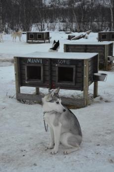 Arctic Huskies